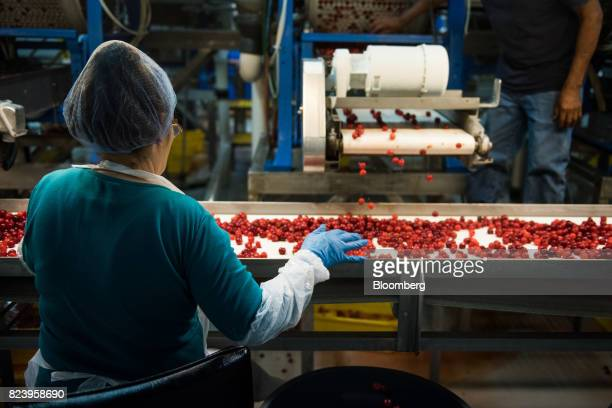 A worker performs a quality check on Montmorency cherries moving along a conveyor belt at the Seaquist Orchard processing facility in Egg Harbor...