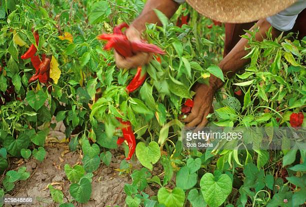 Worker Picking Chili Peppers From Plants