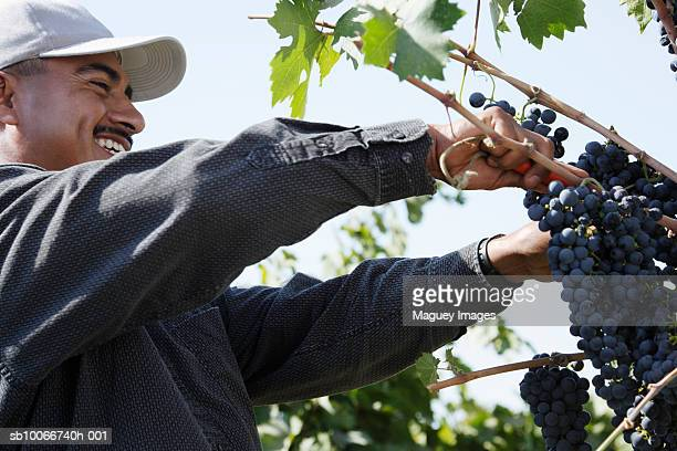 Worker picking grapes, low angle view