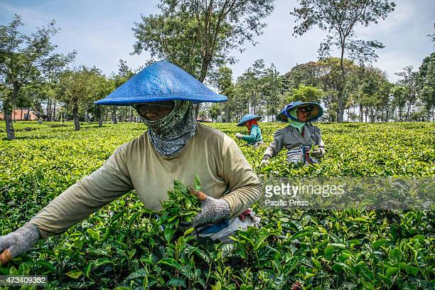 A worker picking tea leaves in the tea garden Wonosari It is estimated that in a day a worker can reap about 40 to 50 kilos of leaves and earns Rp...