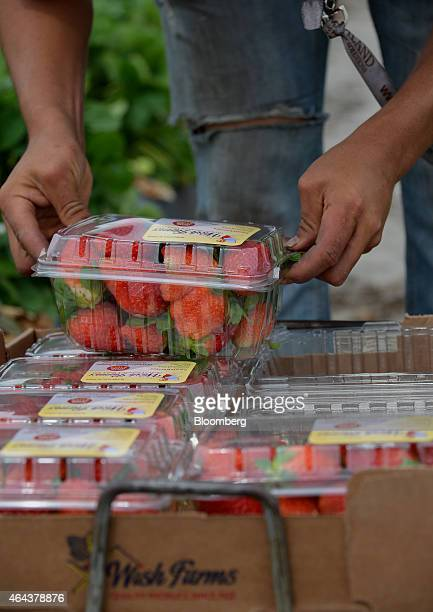 A worker picks and packs strawberries during a harvest at Fancy Farms near Plant City Florida US on Tuesday Feb 24 2015 Annual strawberry harvests in...