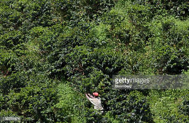 A worker picks Arabica coffee beans in the Chinchina region near Manizales Colombia on Saturday Oct 22 2011 Colombia the world's secondlargest...