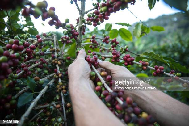 A worker picks coffee berries at a farm in Honduras