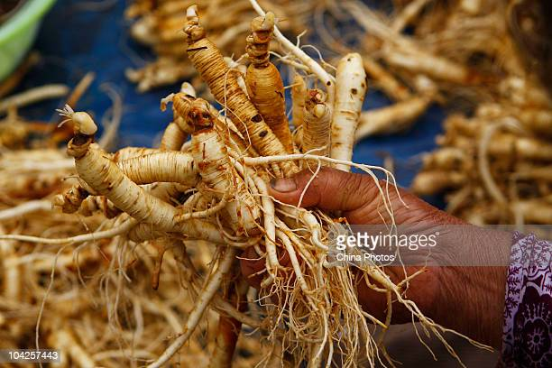 A worker picks ginseng at a ginseng processing factory on September 16 2010 in Wanliang Township Fusong County of Jilin Province northeast China The...