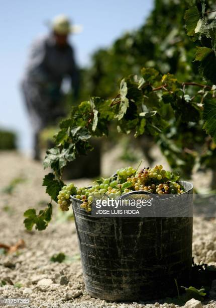 Worker picks grapes at a vineyard in Jerez, to make sherry a fortified wine, 31 August 2006. Sherry is a type of wine originally produced in the...