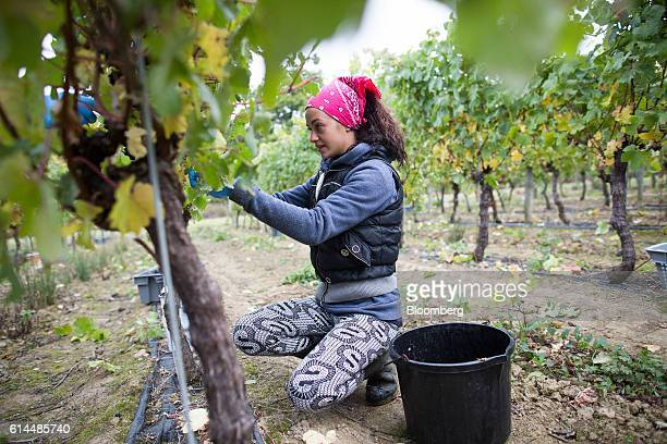 A worker picks grapes from the vineyard at the Ridgeview Estate Winery in Sussex UK on Thursday Oct 13 2016 Then UK Environment Secretary Liz Truss...