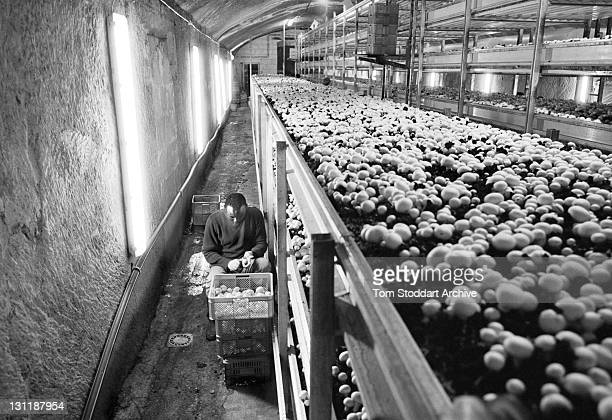A worker picks mushrooms at Casa Funghi where Frank Xerri grows and markets 8 tonnes of Champignon mushrooms per week which are sold to restaurants...