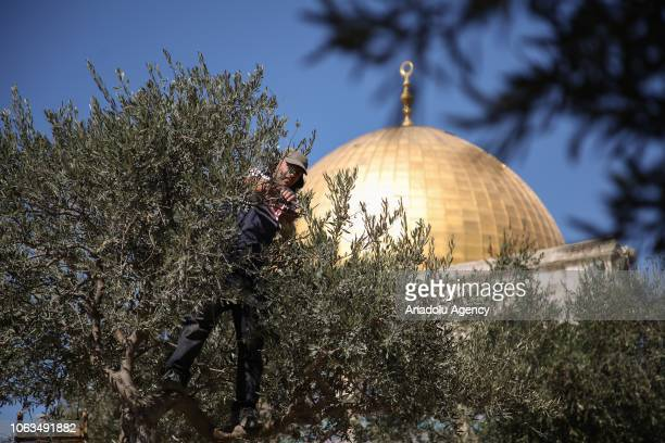 A worker picks olives from an olive tree to distribute to the ones in need at the Masjid alAqsa Compound in Jerusalem on October 16 2018 Jerusalem...