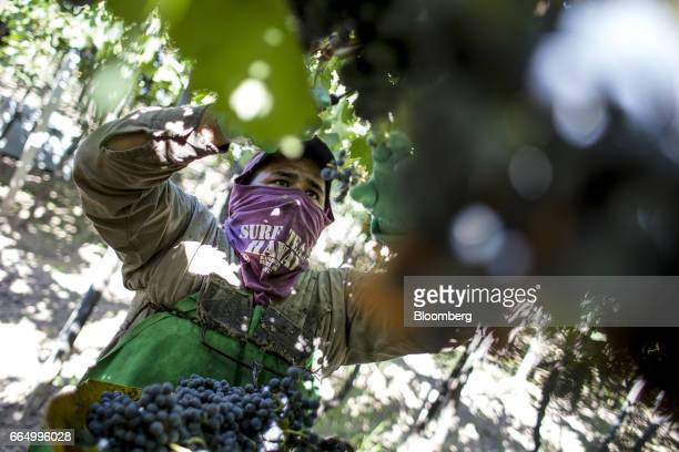 A worker picks red wine grapes at the Bodega Santa Julia Finca Maipu vineyard in Mendoza Argentina on Tuesday March 23 2017 The Argentine wine...