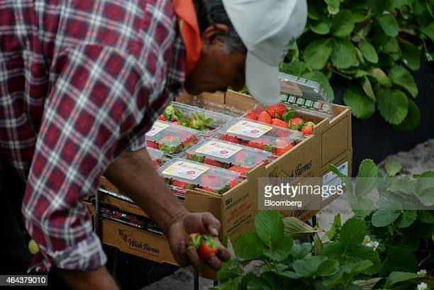 A worker picks strawberries during a harvest at Fancy Farms near Plant City Florida US on Tuesday Feb 24 2015 Annual strawberry harvests in the area...