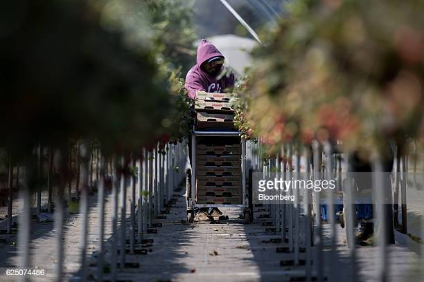 A worker picks substrate grown strawberries at the Driscoll's Inc facility on the McGrath Ranch in Watsonville California US on Monday Sept 19 2016...