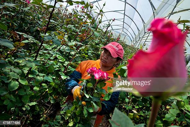 A worker picks the pink roses at a flower farm in Cayambe Ecuador 23 June 2010 Ecuador is one of the world leaders in cut flower industry The...