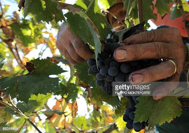 A worker picks up grapes during the harvest in Val D'Orcia in the Tuscany region near Pienza on October 9 2008 The Val D'Orcia which extends from the...