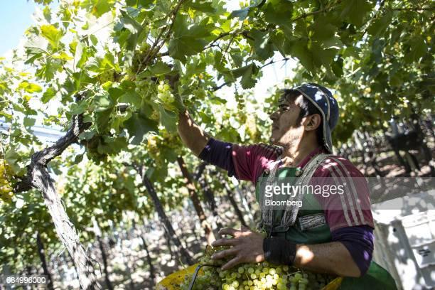 A worker picks white wine grapes at the Bodega Santa Julia Finca Maipu vineyard in Mendoza Argentina on Tuesday March 23 2017 The Argentine wine...