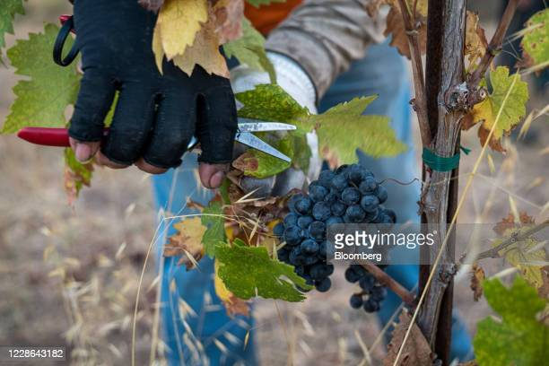 A worker picks zinfandel grapes at a vineyard in Kenwood California US on Monday Sept 21 2020 Smoke from the LNU Lightning Complex wildfires may have...