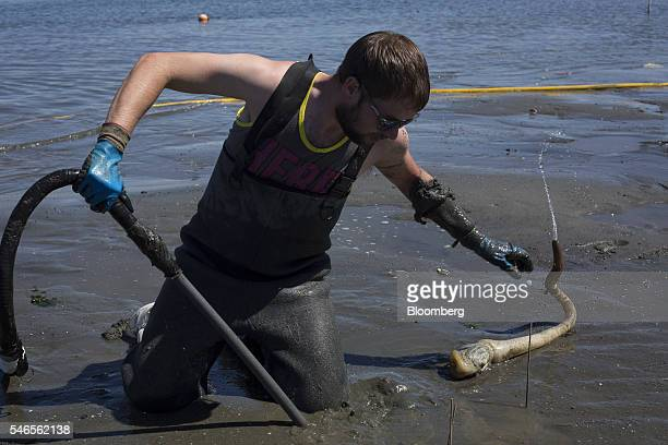 A worker places a geoduck on the sand during harvest on a beach leased by Taylor Shellfish Co near Olympia Washington US on Tuesday May 10 2016...