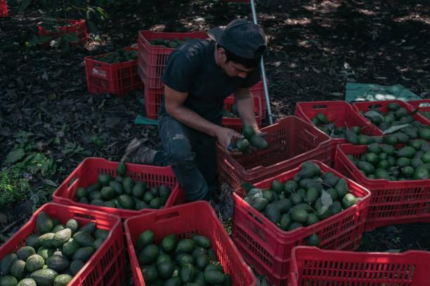 MEX: Avocados Huge Boom To Michoacan's Economy