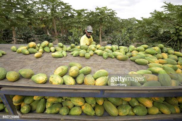 A worker places hand picked red papaya onto a trailer at an orchard at the Skybury Coffee Pty papaya plantation in the Atherton Tablelands Queensland...