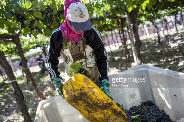 A worker places red wine grapes into a bin at the Bodega Santa Julia Finca Maipu vineyard in Mendoza Argentina on Tuesday March 23 2017 The Argentine...