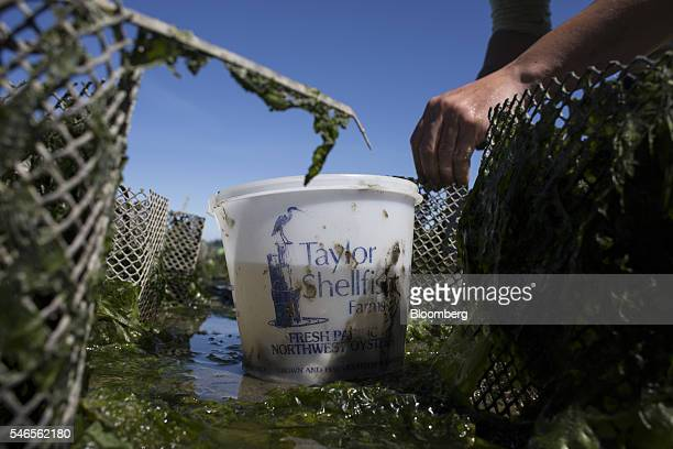 A worker plants geoducks into mesh tubes on a beach leased by Taylor Shellfish Co near Olympia Washington US on Tuesday May 10 2016 Geoducks are the...