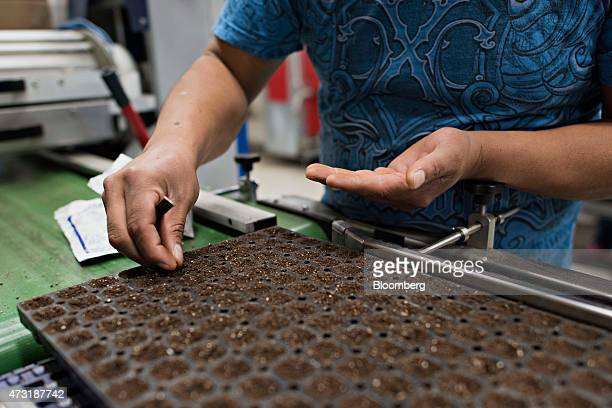 A worker plants impatient seeds inside a greenhouse at the Color Point LLC facility in Granville Illinois US on Tuesday May 12 2015 March wholesale...