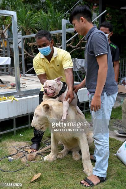 Worker plays with a defanged lion and pet dog upon its controversial return back to its home in Phnom Penh on July 5, 2021.