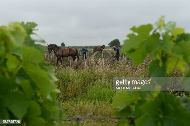 A worker plows French winemaker Dominique LeandreChevalier's young wineyard on the Patiras island on July 20 2016 Dominique LeandreChevalier a rebel...