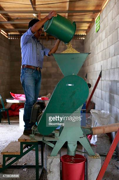 A worker pours coffee beans in a machine to removes the shells at the Federacion de Pueblos Mayas Atitlan indigenous farmers cooperative in San Pedro...