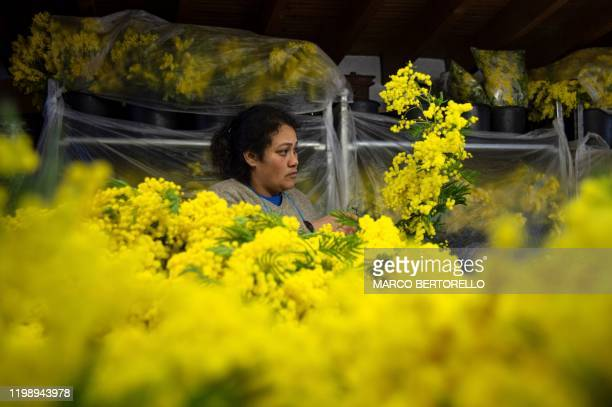 A worker prepares bouquets of Mimosa flowers in Seborga northwestern Italy on February 5 2020 Workers in northwestern Italy are rushing to harvest...
