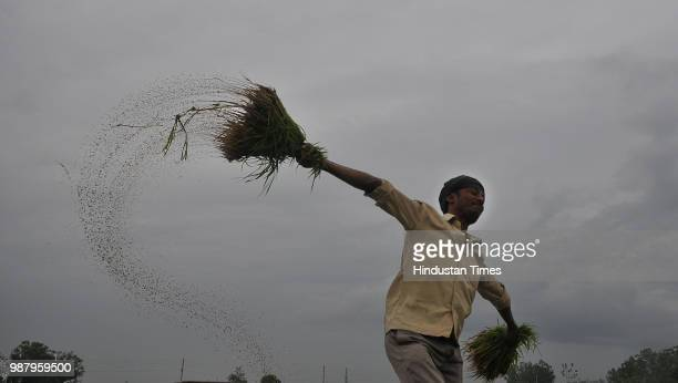 A worker prepares paddy saplings for plantation in a field in village Ranbir Sing Pura on June 30 2018 in Jammu India