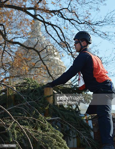 A worker prepares the Capitol Christmas for it to be hoisted from the back of a truck into position on the West Lawn of the US Capitol on November 26...