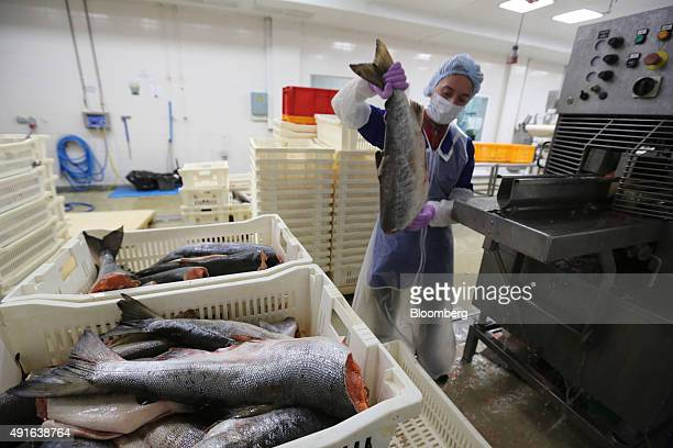 A worker prepares to load a headless fresh salmon into a processing machine on the production line at Russian Sea JSC's fish processing plant in...