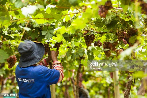 Vine Growers Stock Pictures Royalty Free Photos Images Getty