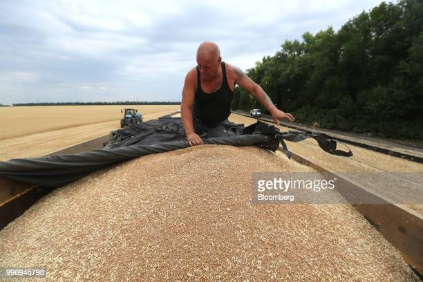A worker pulls a tarpaulin cover over harvested wheat grain in a truck during the summer harvest on a farm operated by Ros Agro Plc in Kazinka...