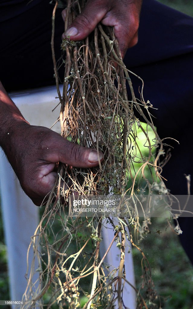 A worker pulls off the leaves from a dried plant of stevia -- Latin name stevia rebaudiana bertoni -- at the Paraguayan Institute of Agrarian Technology in Caacupe, 50 km east of Asuncion, on November 15, 2012. Experts from around the world gathered in Asuncion this week for a symposium on stevia, a herb declared as 'genetic heritage' by Paraguayan President Federico Franco during the opening of the meeting in a bid to win international recognition as the stevia plant's country of origin. Stevia rebaudiana, sometimes known as sweatleaf or sugarleaf, or 'ka'a he'e' in Guarani, has been used for centuries by the Guarani native people to sweeten their drinks, being 300 times sweeter than sugar with none of the calories. The US and most recently the European Union, finally gave their green light to the use of the age-old natural South American sweetener in foods and drinks, a thing widely done in Asia and South America before. Studies at the medical school at the University of Asuncion found stevia had a long list of beneficial properties, being an anti-oxidant, anti-inflammatory and an anti-bacterial agent useful in the battle against diabetes, high blood pressure and tooth decay.