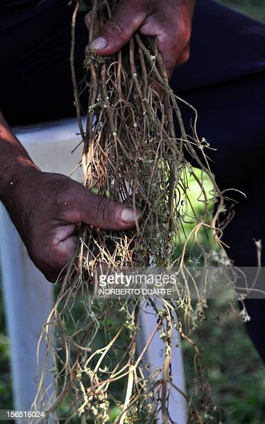 A worker pulls off the leaves from a dried plant of stevia Latin name stevia rebaudiana bertoni at the Paraguayan Institute of Agrarian Technology in...