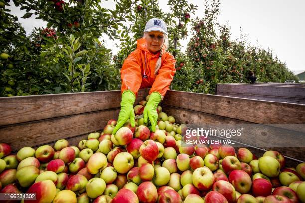 A worker puts down elstar apples in a truck from Bert den Haan's orchard in KerkAvezaath where visitors can pick their own fruit on September 6 2019...