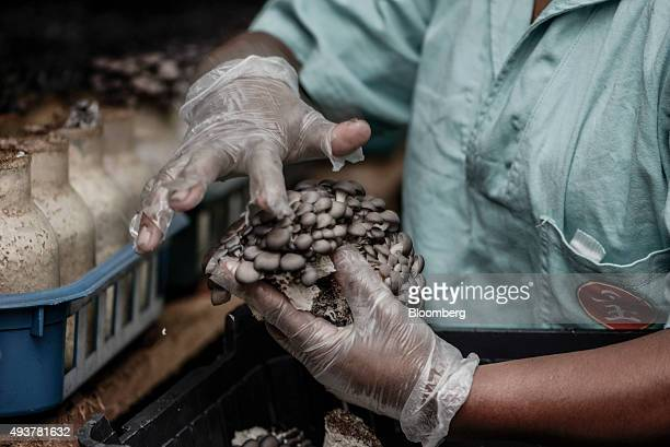 A worker puts shimeji mushrooms in a crate at the Urakami Cogumelos facility in Mogi das Cruzes Brazil on Thursday Oct 15 2015 Urakami Cogumelos is...