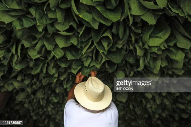 A worker puts tobacco leafs to dry at a tobacco farm in Esteli Nicaragua on May 17 2019 Nicaragua is consolidating as the largest exporter of cigars...