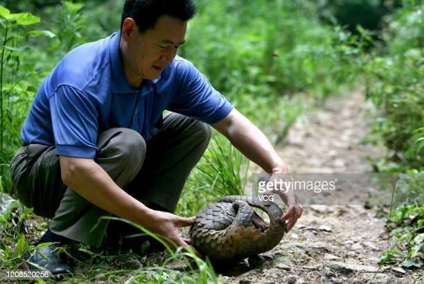 A worker releases a Chinese pangolin at Zijinshan area on July 13 2007 in Nanjing Jiangsu Province of China