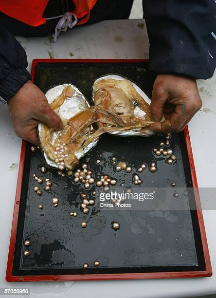 A worker removes pearls from a mussel at a pearl farm on April 18 2006 in Nanjing of Jiangsu Province China According to the Gemmological Association...