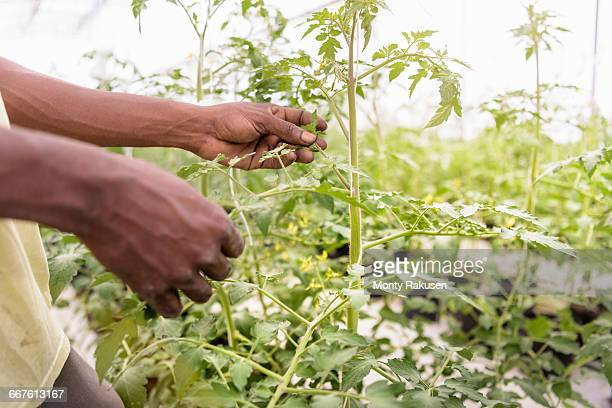 Worker removing tomato plants side shoots in Hydroponic farm in Nevis, West Indies