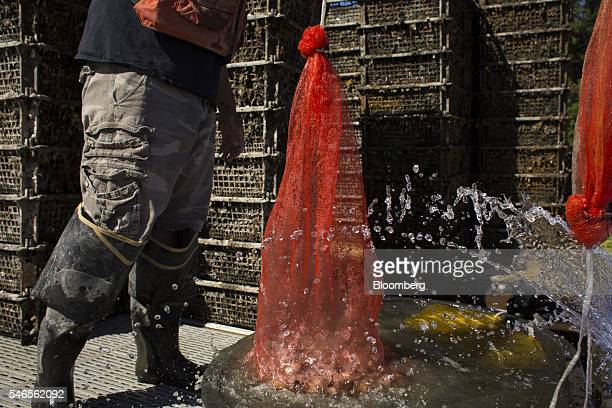 A worker rinses a bag of geoducks on a floating growing facility operated by the Taylor Shellfish Co near Olympia Washington US on Tuesday May 10...