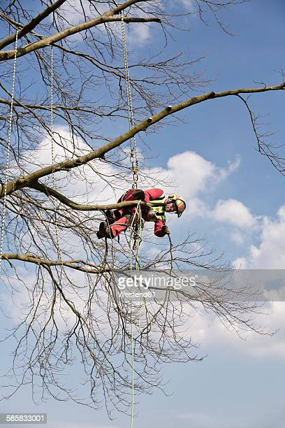 Worker secured with ropes pruning a tree