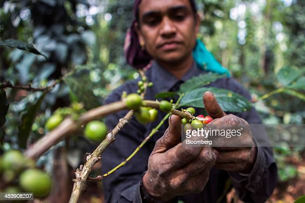 A worker selectively picks ripe arabica coffee berries at a coffee plantation in Madapura Karnataka India on Tuesday Dec 3 2013 Strong monsoon...