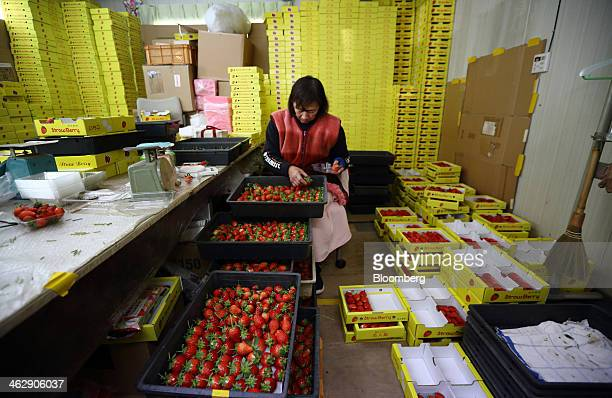 Worker selects harvested Himebijin strawberries at Okuda Farm in Hashima, Gifu Prefecture, Japan, on Tuesday, Jan. 14, 2013. The farm this month...