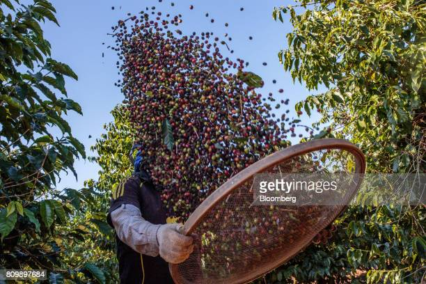 A worker separates coffee cherries during harvest at a plantation in Guaxupe Minas Gerais state Brazil on Friday June 16 2017 The coffee market could...