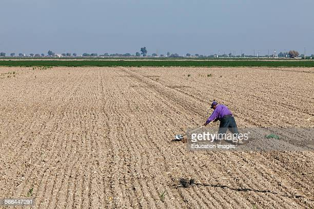 Worker shoveling a crop field. Fresno County, San Joaquin Valley, California.