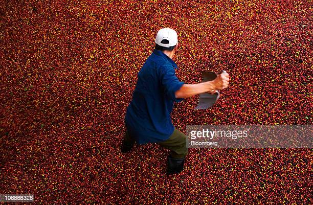A worker shovels coffee cherries at a facility in El Paste El Salvador on Thursday Nov 11 2010 Coffee stockpiles in producing nations dropped to...