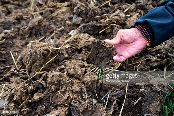 A worker shows cow dung used as manure at Makaibari tea garden Set up in 1859 off Kurseong in the Darjeeling hills the Makaibari estate is the worlds...